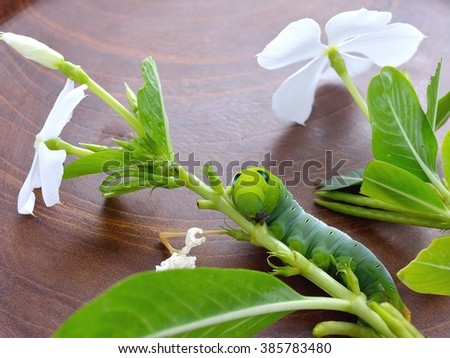 Green Worm the caterpillars on green leaf and white  flower and stems of plants.  - stock photo
