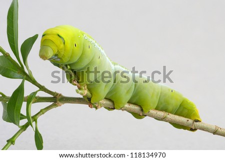 Green worm with leaves isolated on white - stock photo