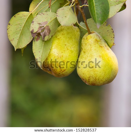 green, yellow pears on pear tree branch