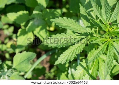 Green Young Cannabis plant (hemp) - stock photo
