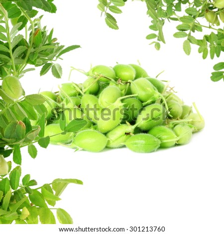 green young chickpeas pod with plant on pure white background - stock photo