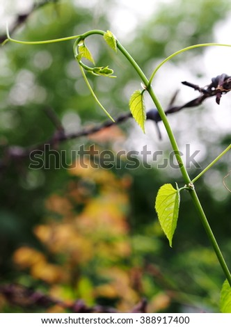 green young creeping plant, climber, typical tropical jungle plant with green leaves under sunlight with beautiful bokeh background on barbed wire - stock photo