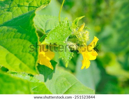Green young cucumber with flower on a background of green leaves in garden - stock photo