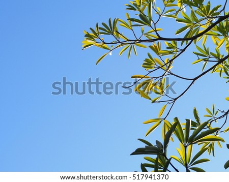 green young leaves of tropical plant, Dita, Shaitan wood, Devil Tree, Alstonia scholaris (L) R.Br. large and fast growing tree outdoor in nature with bright blue sky background on a sunny day