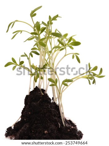 Green young plant isolated on white background. macro. Fresh Green Sprout  - stock photo
