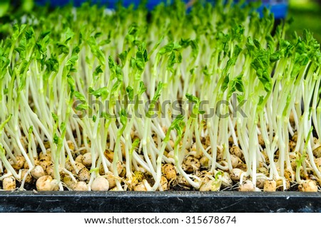 Green young sunflower seedlings in the farm - stock photo
