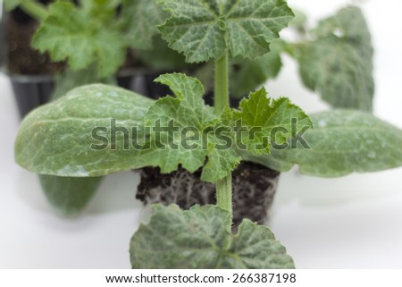 green zucchini seedlings ready for transplanting in dwelling - stock photo
