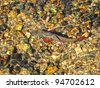 Greenback Trout in Mountain Stream - stock photo