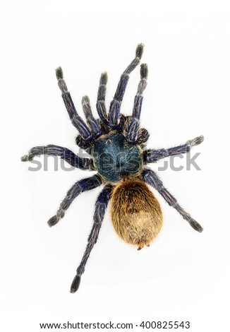 Greenbottle blue Tarantula (Chromatopelma cyaneopubescens).