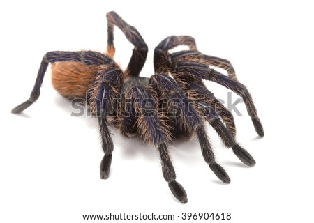 Greenbottle Blue Tarantula/Tarantula/Greenbottle (chromatopelma cyaneopubescens), isolated on white background