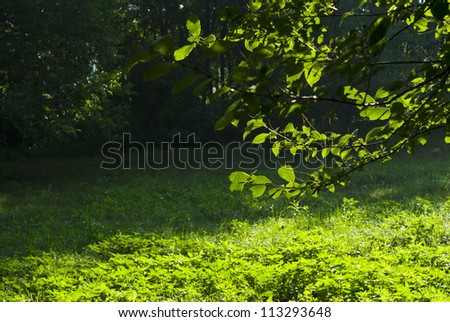 greenery, glade in a forest at summertime