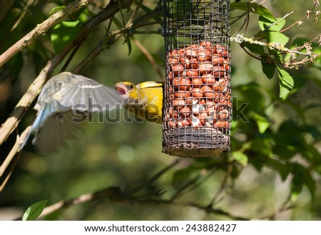 Greenfinch aggressive with Blue Tit on feeder