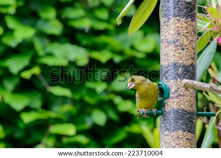 Greenfinch (Cardeulis chloris) perched on a seed feeder in an urban British garden. Horizontal format with copy space. - stock photo