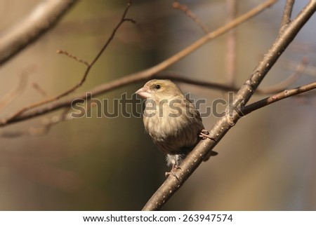 Greenfinch (Carduelis chloris) on a twig. - stock photo