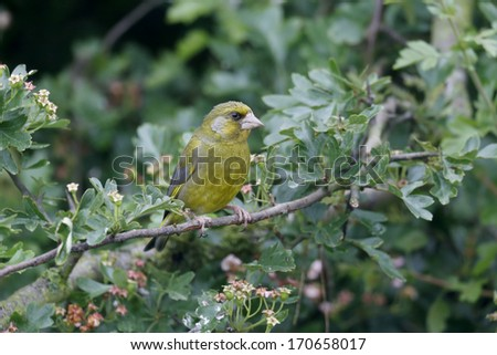 Greenfinch, Carduelis chloris, single bird on branch, Warwickshire, June 2013