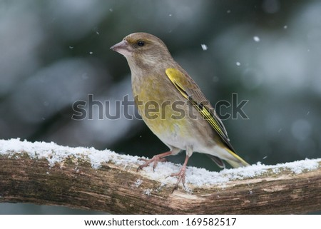 Greenfinch sitting on a branch in the snow
