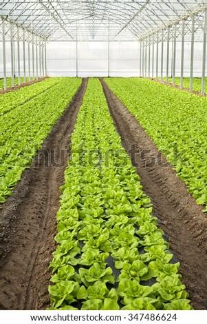 Greenhouse lettuce - stock photo