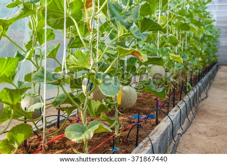 Greenhouse planted melon  - stock photo