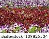 Greenhouse, plants in pots. Pansies flower in a plant nursery. - stock photo