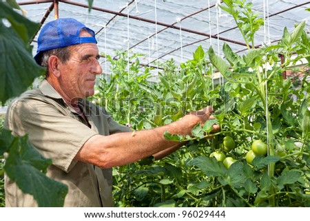 Greenhouse tomato crop being checked by an old bulgarian farmer - stock photo