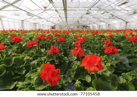 Greenhouse with blooming geranium plats.