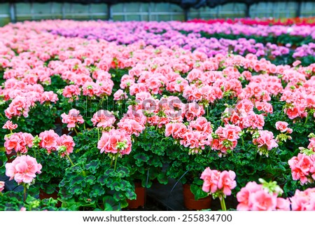 Greenhouse with colorful blooming geranium flowers for sale and gardening. Busy season in greenhouse in spring. - stock photo
