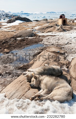 Greenland dog in Ilulissat, Greenland - stock photo