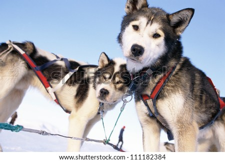 Greenland dogs - stock photo