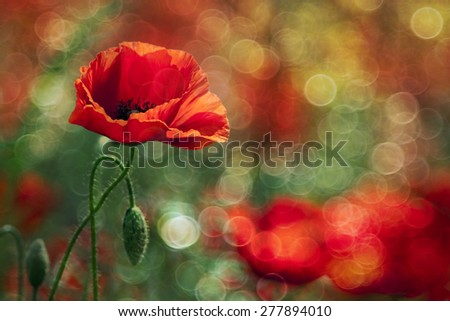 Greeting card idea- beautiful red poppy flower with light bubbles - stock photo