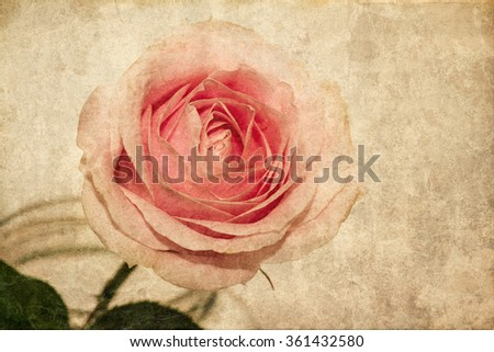 Greeting card with a rose blooming - stock photo