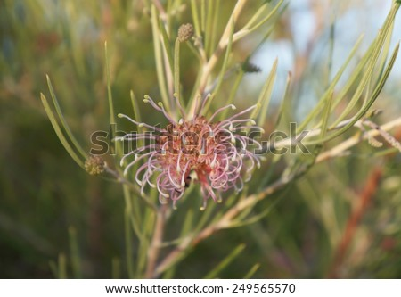 Grevillea brachystachya in bloom, The native Australian Grevillea plant is an evergreen tree or shrub with uniquely shaped flowers, selective focus on the flower - stock photo