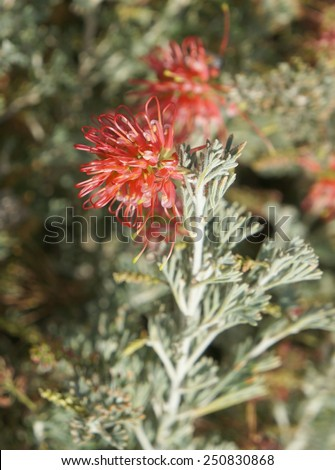 Grevillea brachystachya in full blossom, The native Australian Grevillea plant is an evergreen tree or shrub with uniquely shaped flowers, selective focus on the flower - stock photo
