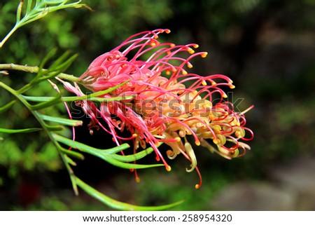 Grevillea flower in the sun - stock photo