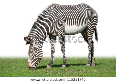 Grevy's zebra, also known as the imperial zebra, eating grass isolated on white background - stock photo