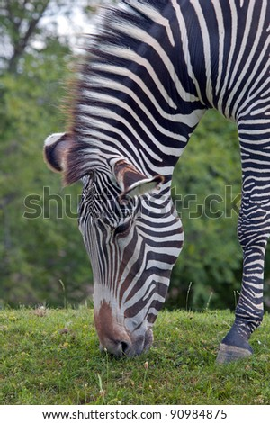 Grevy's zebra feeding green grass - stock photo