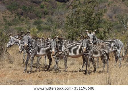 Grevy's Zebra herd - stock photo
