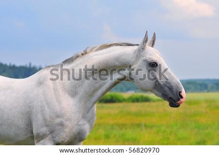 grey akhal-teke horse portrait - stock photo