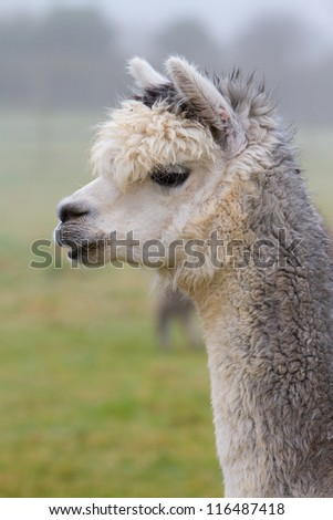 Grey Alpaca in profile.  An alpaca resembles a small llama in appearance and their wool is used for making knitted and woven items such as blankets, sweaters, hats, gloves and scarves. - stock photo