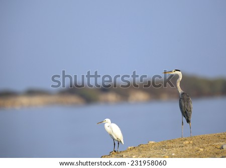 Grey and a white heron in the coast of Bahrain
