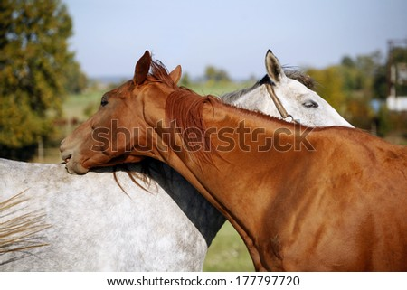 Grey and bay  thoroughbred horses together in the summer meadow - stock photo