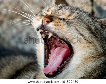 Grey and brown yawning cat with sharp teeth. - stock photo