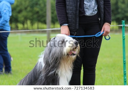 Grey and White Bearded Collie sat next to its owner