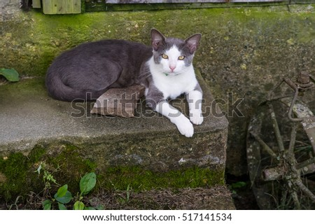 grey and white cat on steps.  A grey and white short hair cat poses on the steps of an old homestead