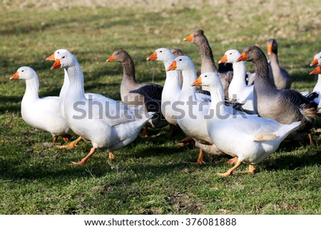 Grey and white domestic goose on poultry farm - stock photo
