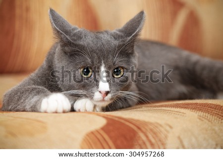 Grey and white kitten on a brown couch