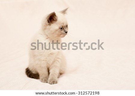 Grey and white kitten on pink background  - stock photo