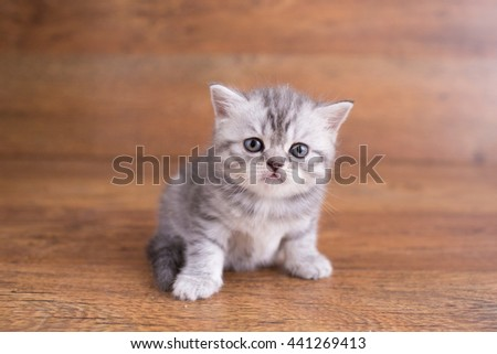 grey and white striped Scottish kitten on brown background