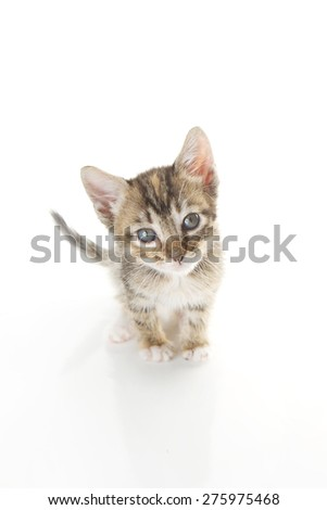 Grey and white striped tabby with a black nose isolated on a white background. Kitten pictured is 6 weeks old.  - stock photo