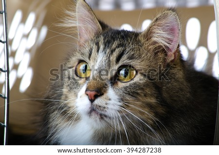 Grey and White Tabby Cat Looking Out of Cage - stock photo