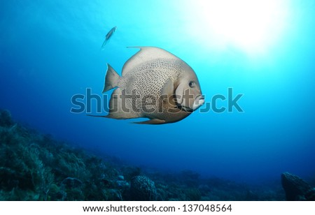 Grey angel fish swimming in the blue above the coral reef - Riviera Maya, Mexico
